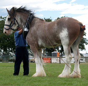 Ask the Experts: Clydesdales and Fillies